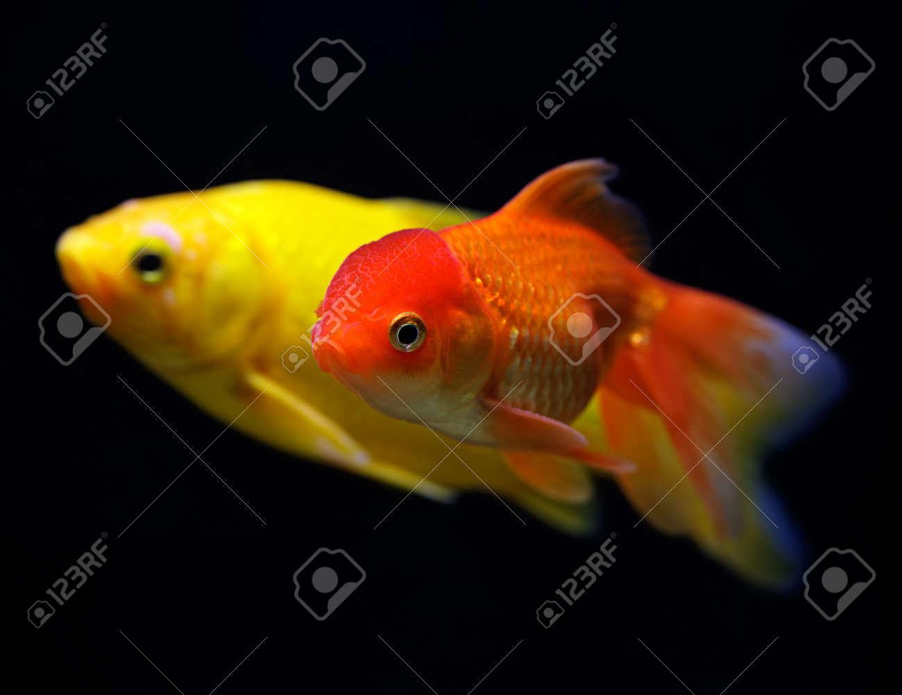 Goldfish (Carassius auratus auratus) swimming underwater on black Stock Photo - 17675816