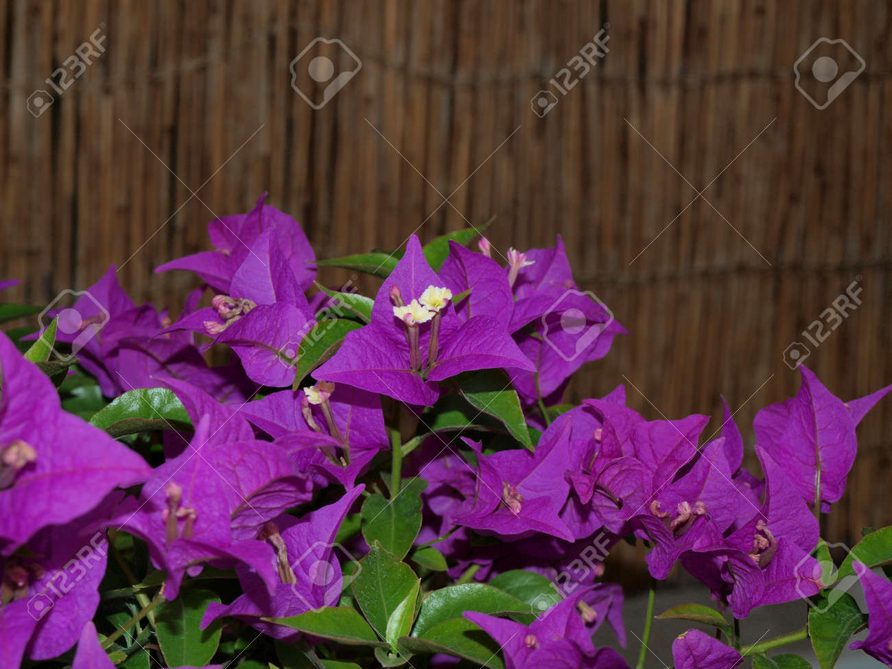 Small Yellow Flowers Purple And Green Leaves Stock Photo Picture