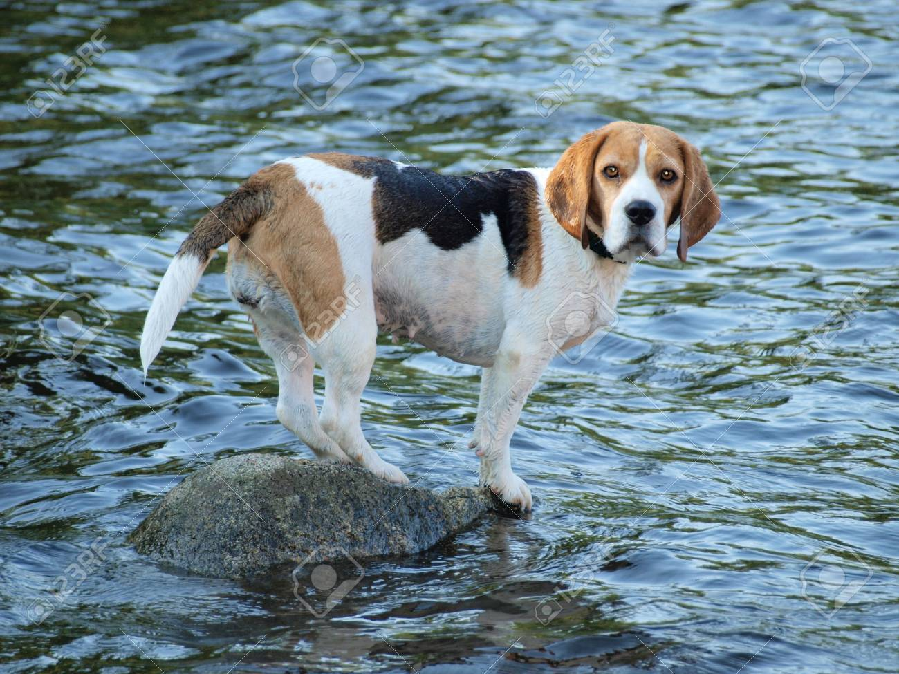 Beagle standing on a rock , the water around   South Bohemia Stock Photo - 20420573