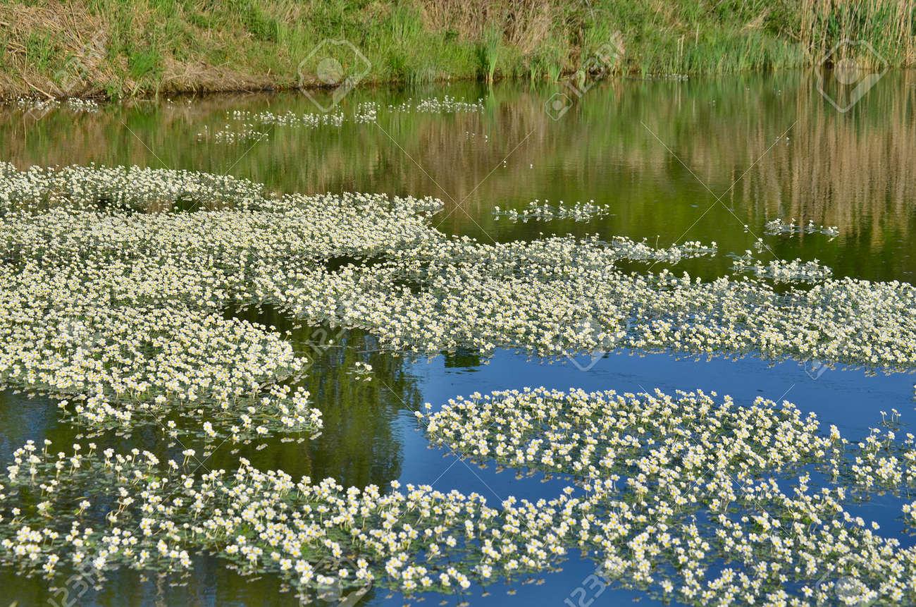 Flowering water flowers, southern Bohemia, Czech Republic Stock Photo - 79396743