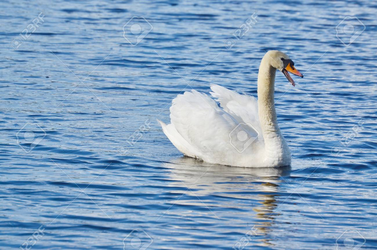 swan on the water, South Bohemia, Czech Republic Stock Photo - 79133053