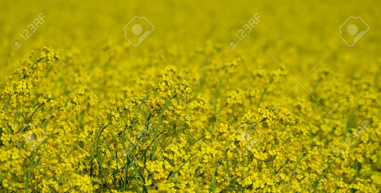 Spring field sown oilseed, South Bohemia, Czech Republic Stock Photo - 79084705