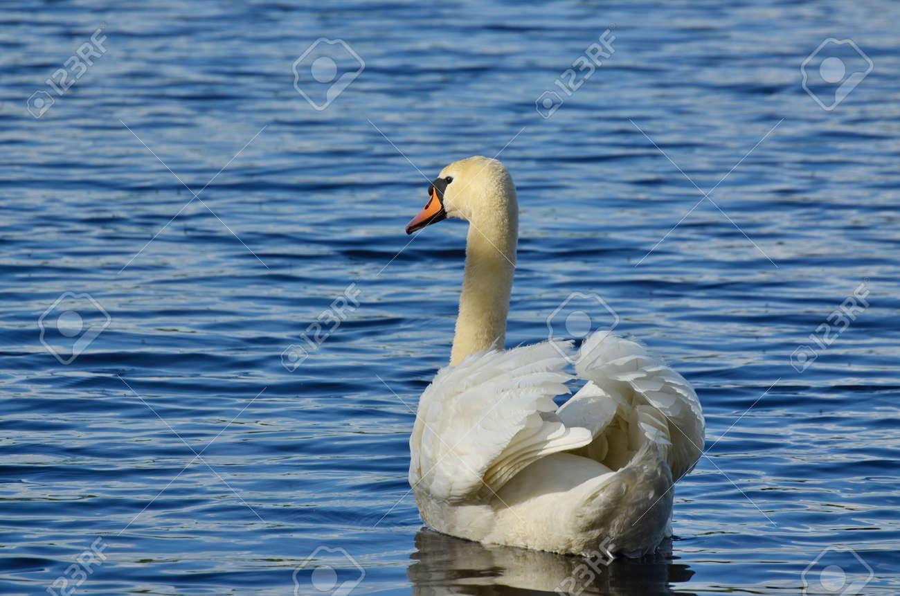 swan on the water, South Bohemia, Czech Republic Stock Photo - 79595193