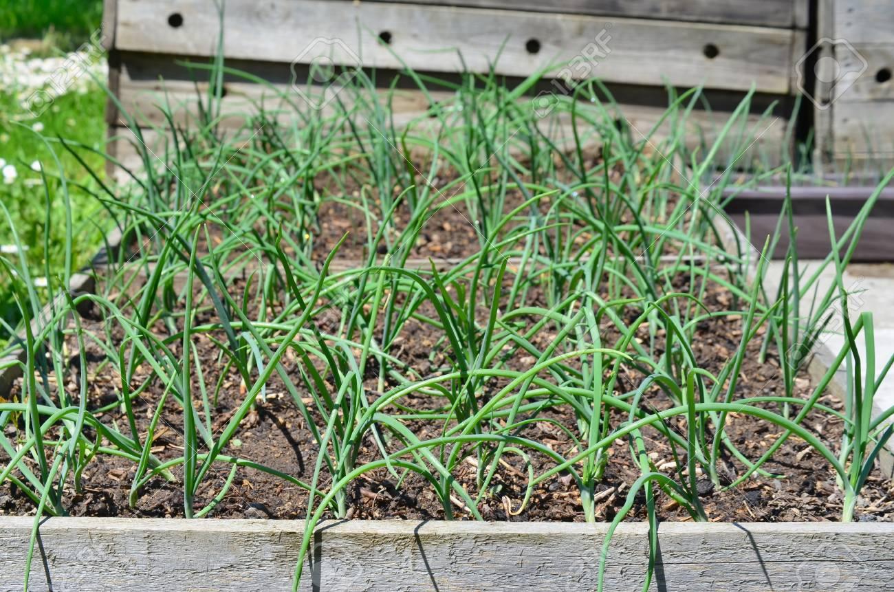 Spring onion plant, South Bohemia, Czech Republic Stock Photo - 79595213