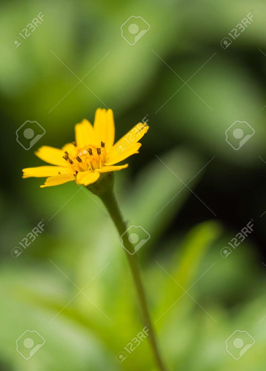 Beautiful Single Flower Of Little Yellow Star Melampodium