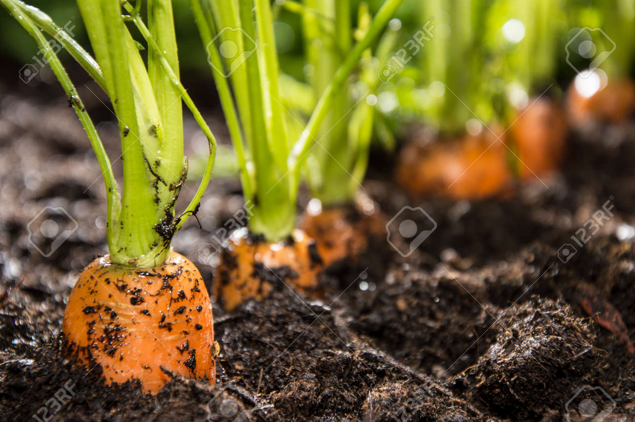 Macro shot of some Carrots in the dirt Stock Photo - 14892828