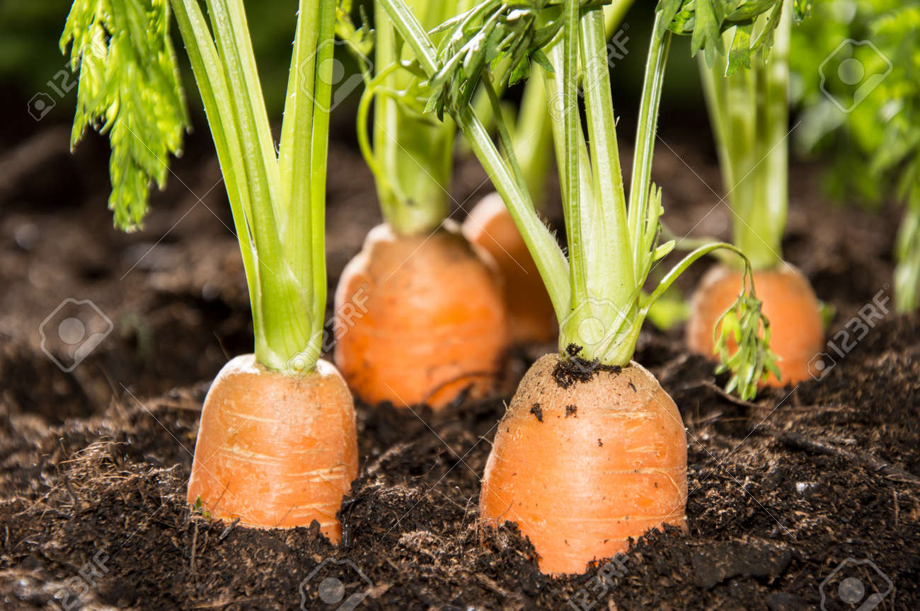 Some Carrots In The Dirt Macro Shot Stock Photo Picture And