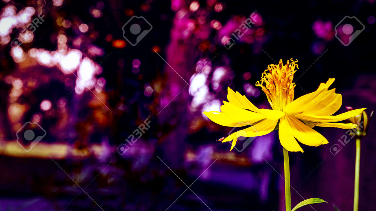 Fantasy yellow flower and purple bokeh background stock photo fantasy yellow flower and purple bokeh background stock photo 98634312 mightylinksfo