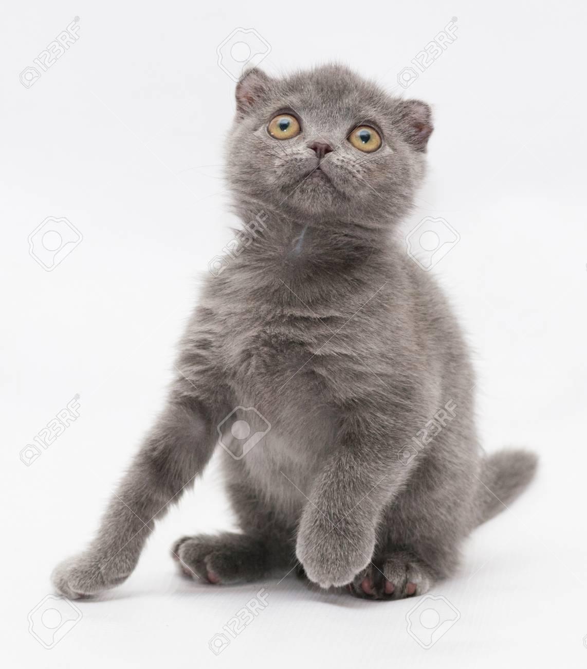 グレー ホワイト バック グラウンドの上を小さな青い子猫スコティッシュフォールド座って