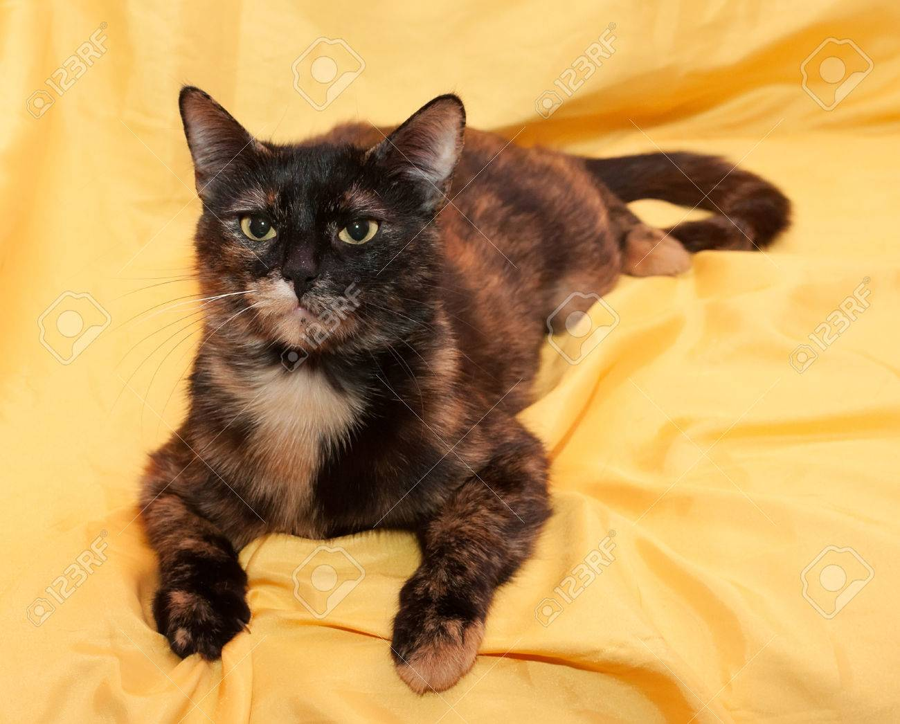 Black And Red Cat Lies On Yellow Background Stock Photo Picture And Royalty Free Image Image 29109987