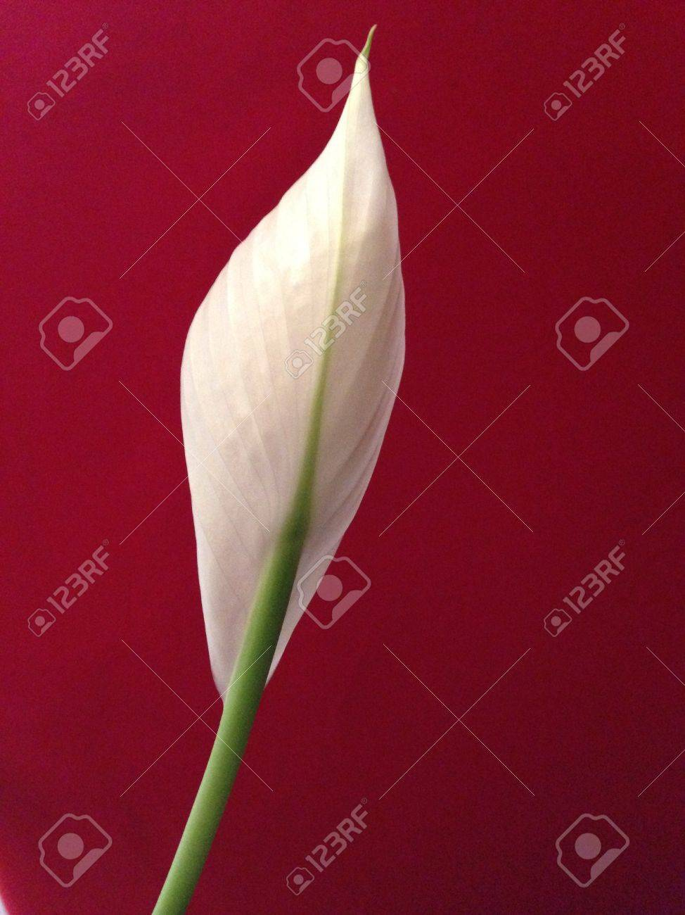Peace lily against red background stock photo picture and royalty peace lily against red background stock photo 24182687 izmirmasajfo