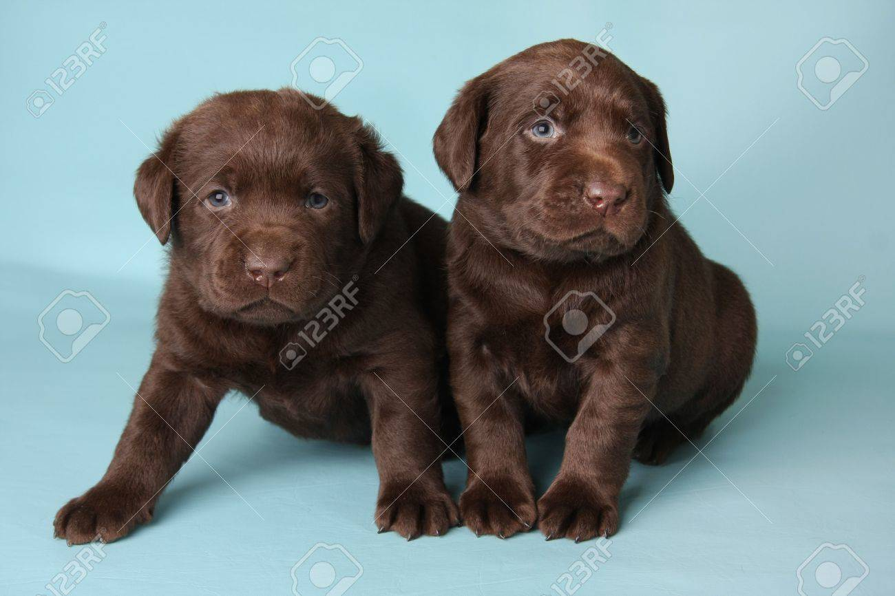 Purebred Labrador retriever puppies on blue. Stock Photo - 6827237