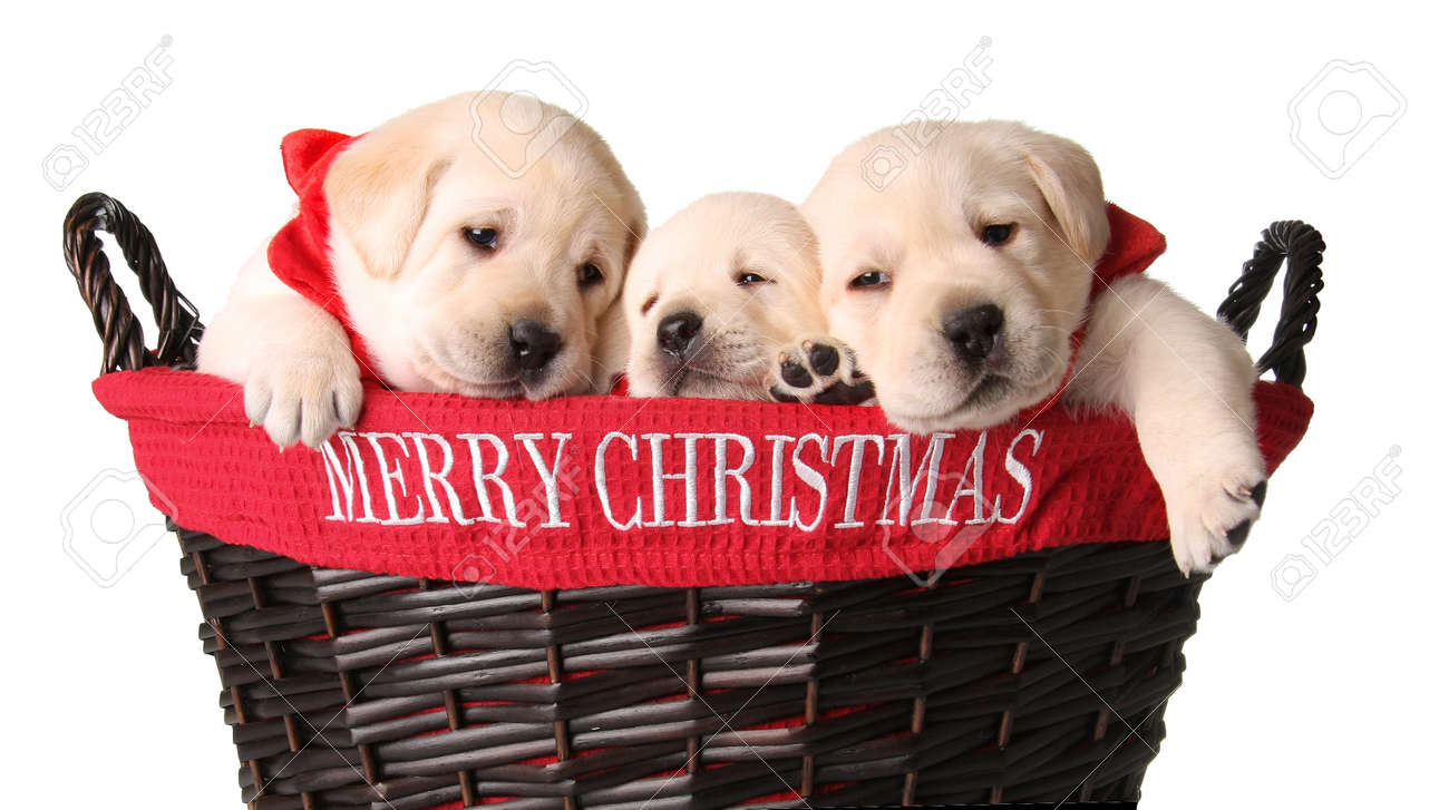 Merry Christmas Puppies.Three Yellow Lab Puppies In A Merry Christmas Basket