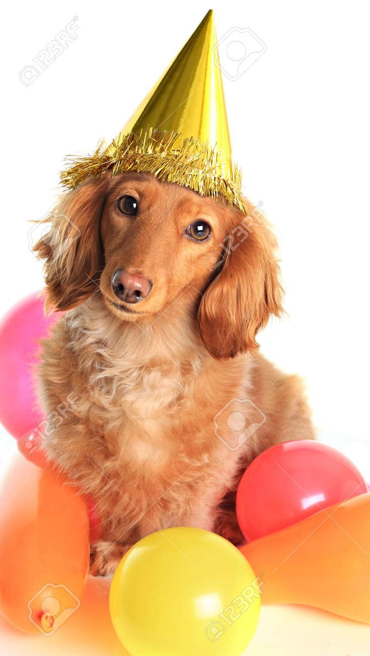 Geburtstag Dackel Hund Einen Partyhut Tragt Lizenzfreie Fotos