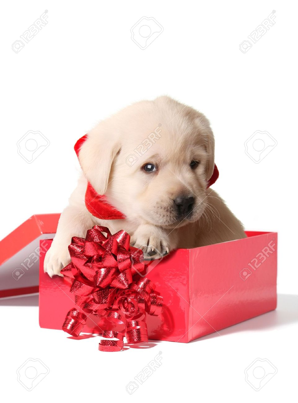 Labrador Puppy In A Red Christmas Box Stock Photo Picture And Royalty Free Image Image 11476672