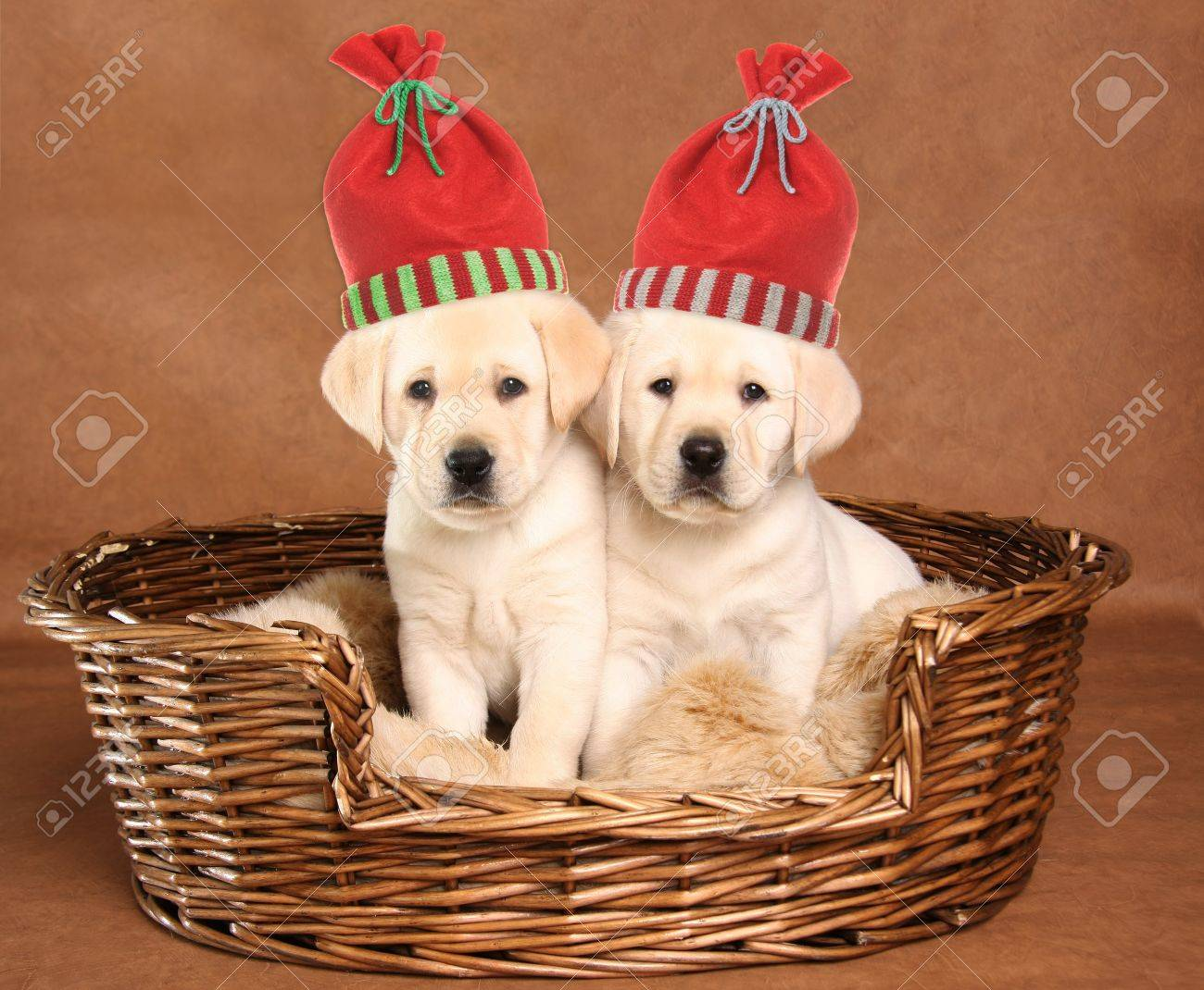 Two Yellow Lab Puppies Wearing Christmas Santa Hats Stock Photo Picture And Royalty Free Image Image 16738781