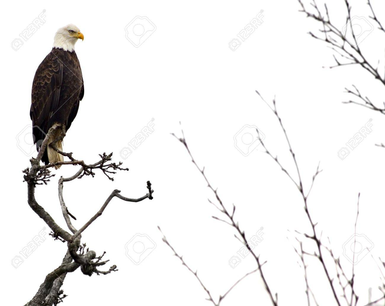 Bald eagle on a tree branch, isolated on white Stock Photo - 17467022