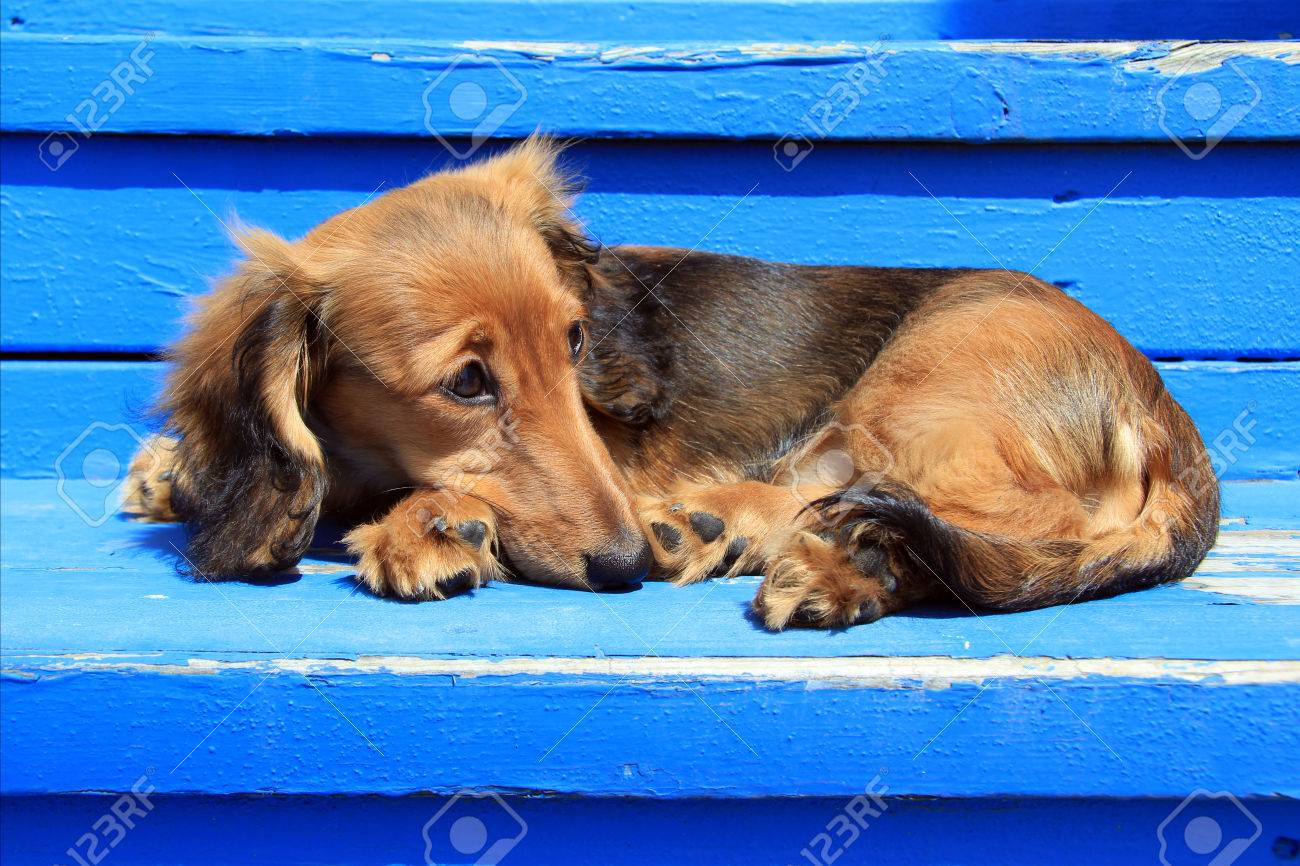 Longhair Dachshund Puppy On Weathered Blue Also Available In Stock Photo Picture And Royalty Free Image Image 27924913