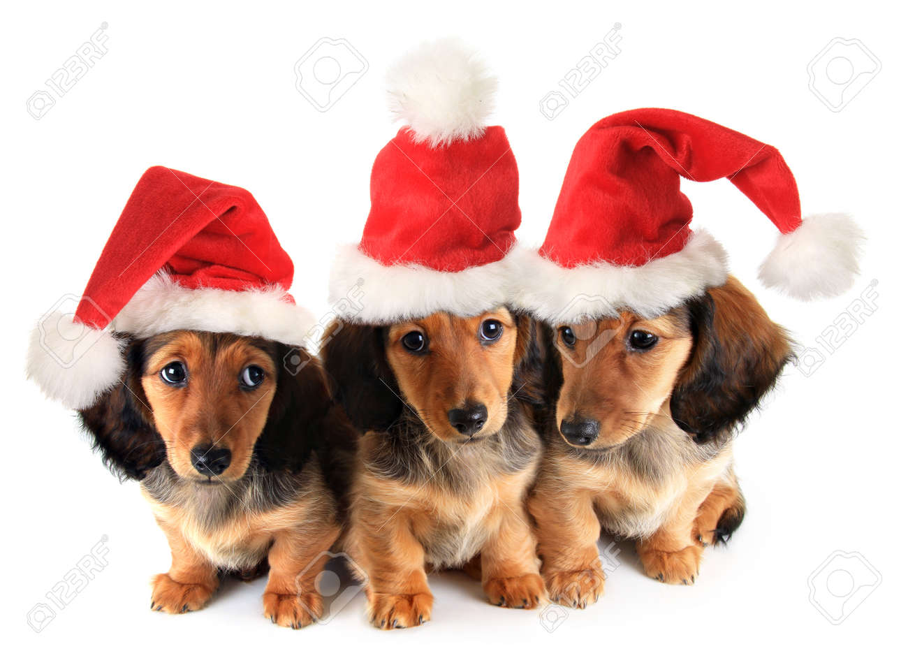 Christmas Dachshund Puppies Wearing Santa Hats. Stock Photo, Picture And Royalty Free Image. Image 31427401.