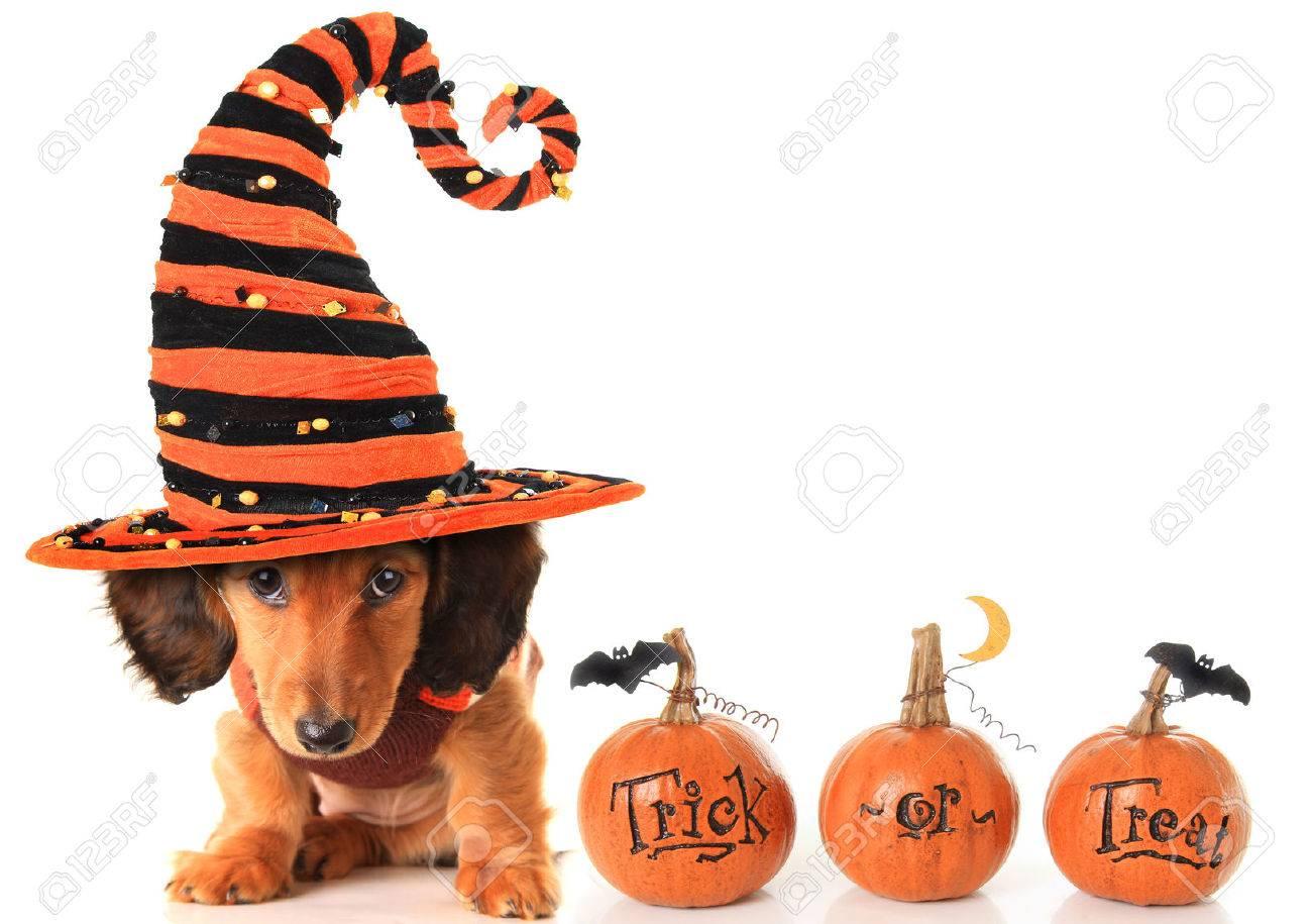 halloween dachshund puppy wearing a halloween witch hat plus