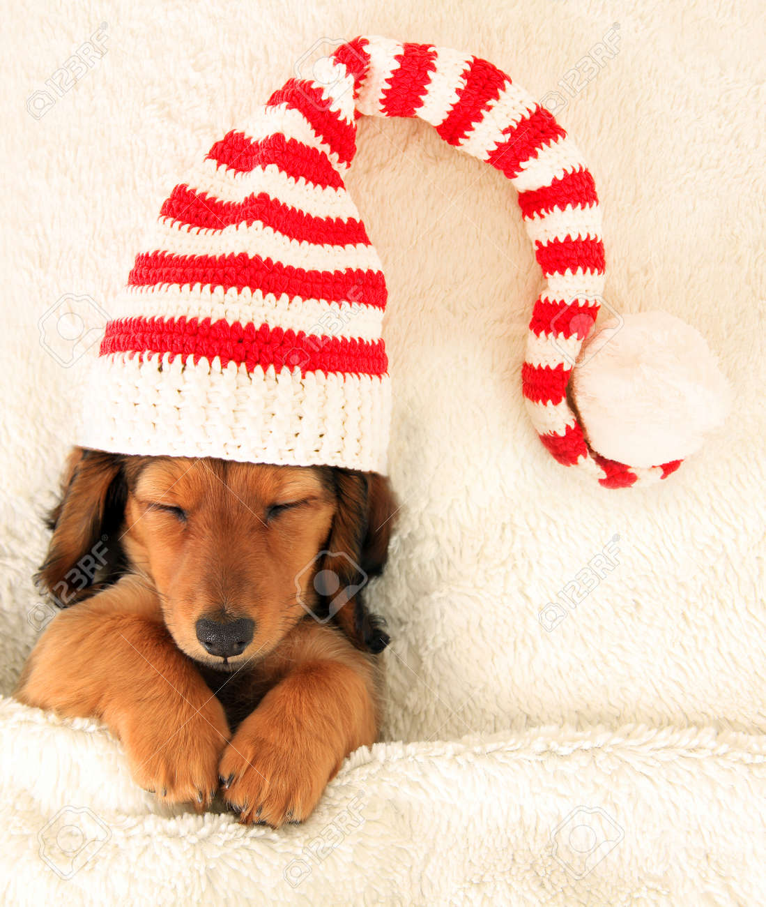 Sleeping dachshund puppy wearing a Christmas elf hat. Stock Photo - 31427404 5c0350bb6812