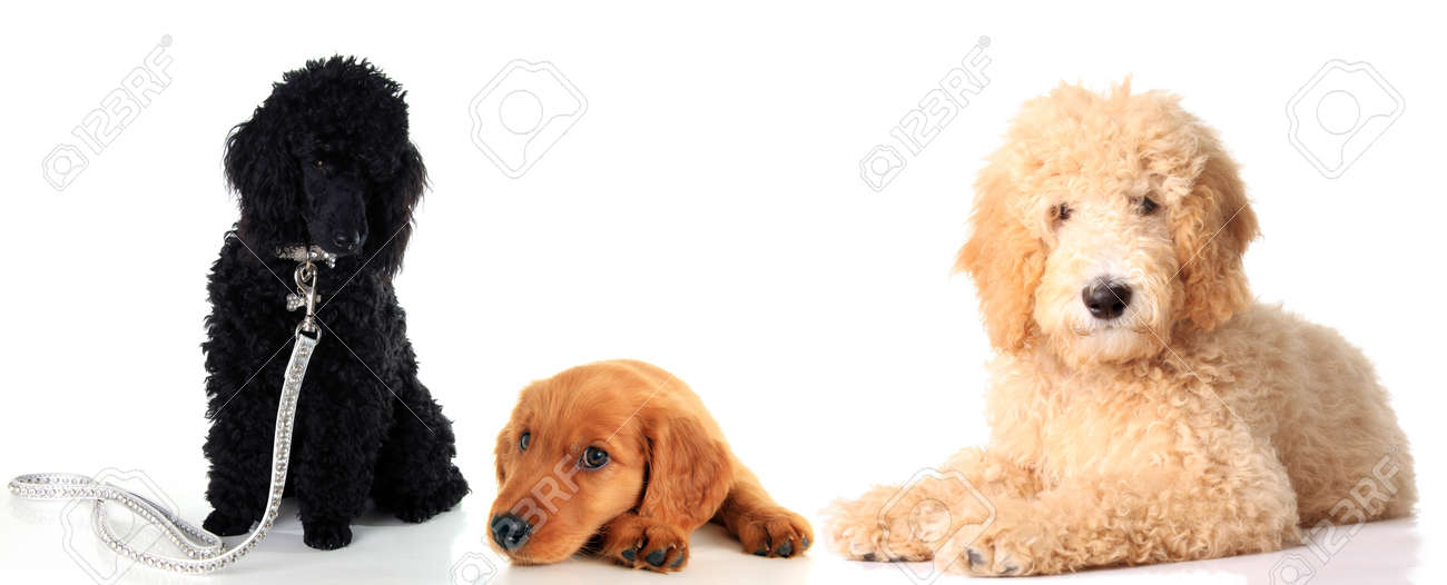 Black poodle puppy, Irish Setter puppy and a golden doodle dog,