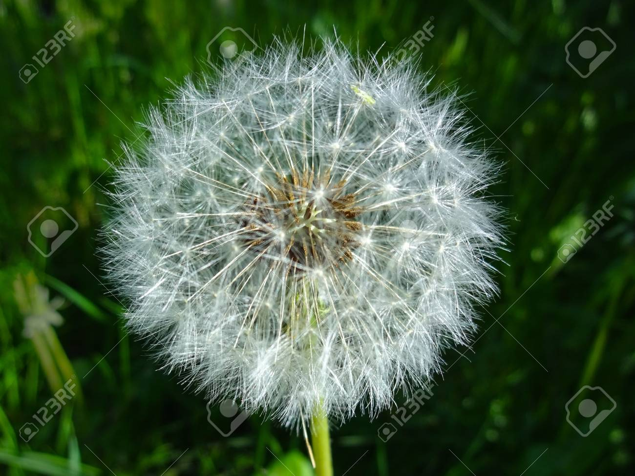 blowball flower dandelion flower closeup stock photo picture
