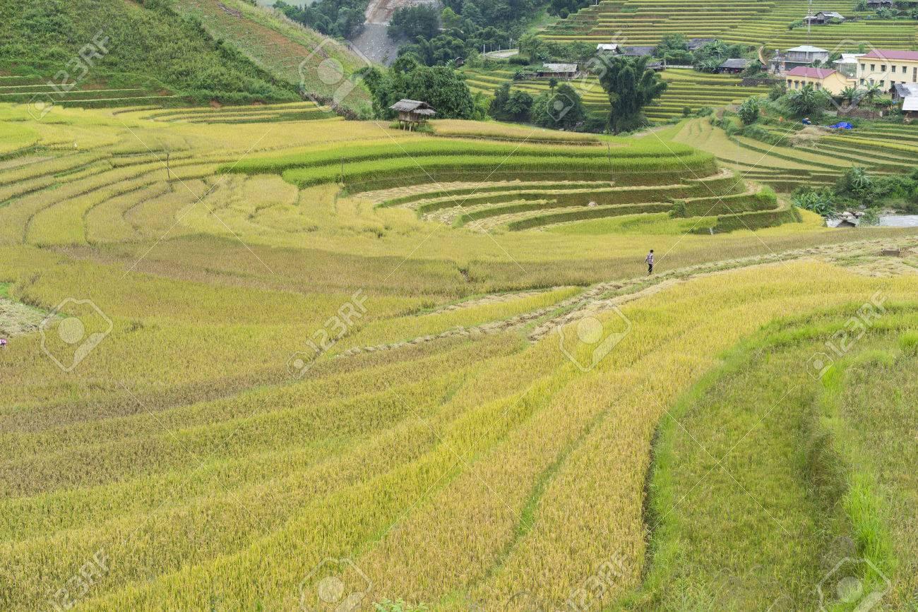 Campo De Arroz Asiático En La Temporada De Cosecha En Mu Cang Chai Yen Bai Vietnam Los Arrozales En Terrazas Se Usan Ampliamente En El Cultivo De