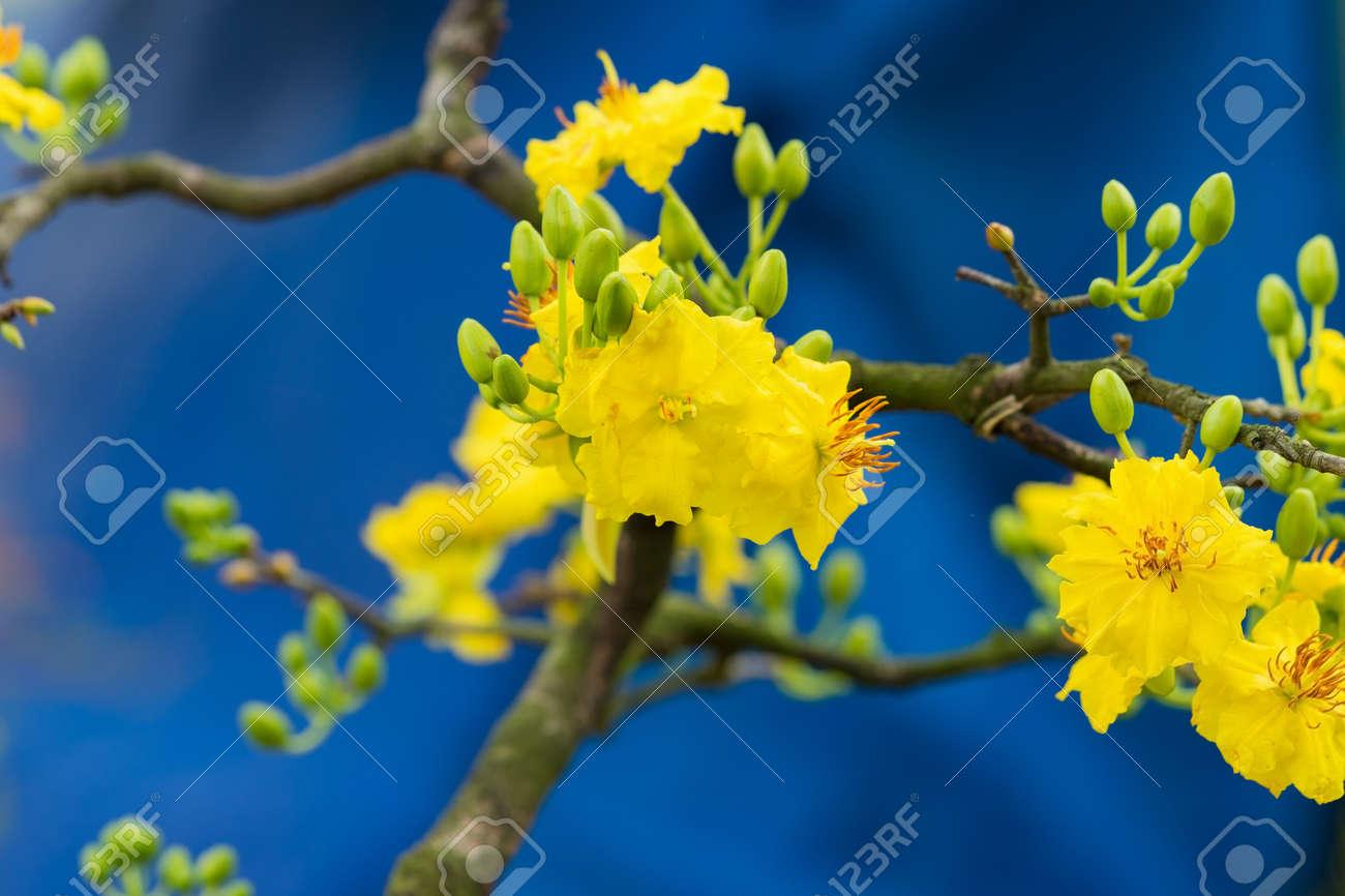 Ochna integerrima the symbol of vietnamese lunar new year in ochna integerrima the symbol of vietnamese lunar new year in south the golden yellow mightylinksfo