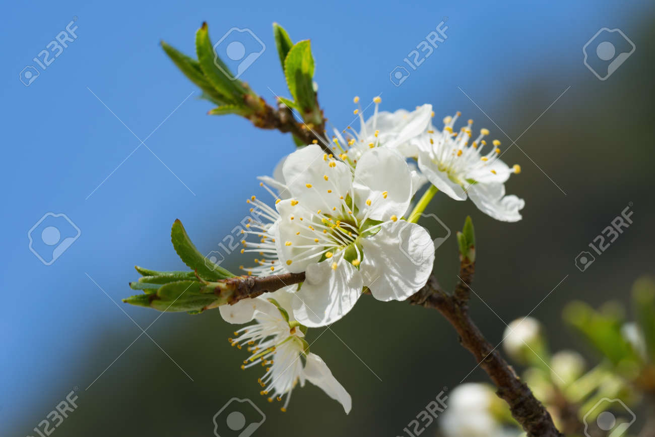 Branches of white plum flowers in spring stock photo picture and branches of white plum flowers in spring stock photo 71796929 mightylinksfo