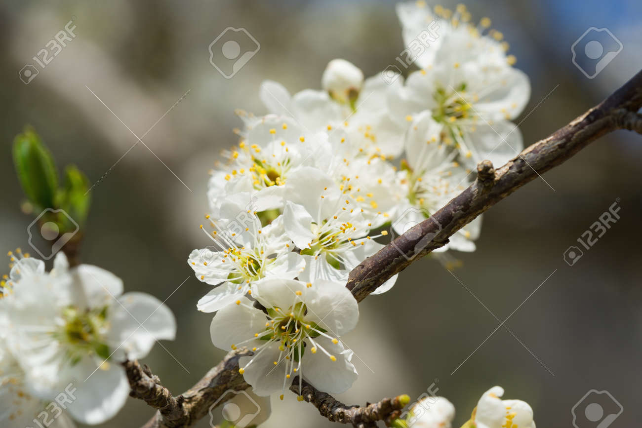 Branches of white plum flowers in spring stock photo picture and branches of white plum flowers in spring stock photo 71225553 mightylinksfo Choice Image