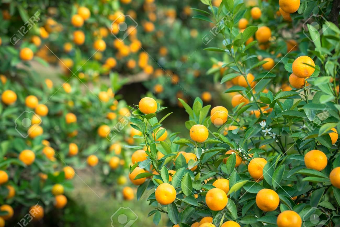 Kumquat Tree Together With Peach Blossom Tree Kumquat Is One