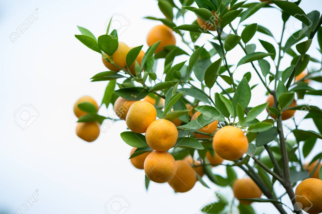 Heres Your Guide For Growing A Healthy And Fruitful Kumquat Tree