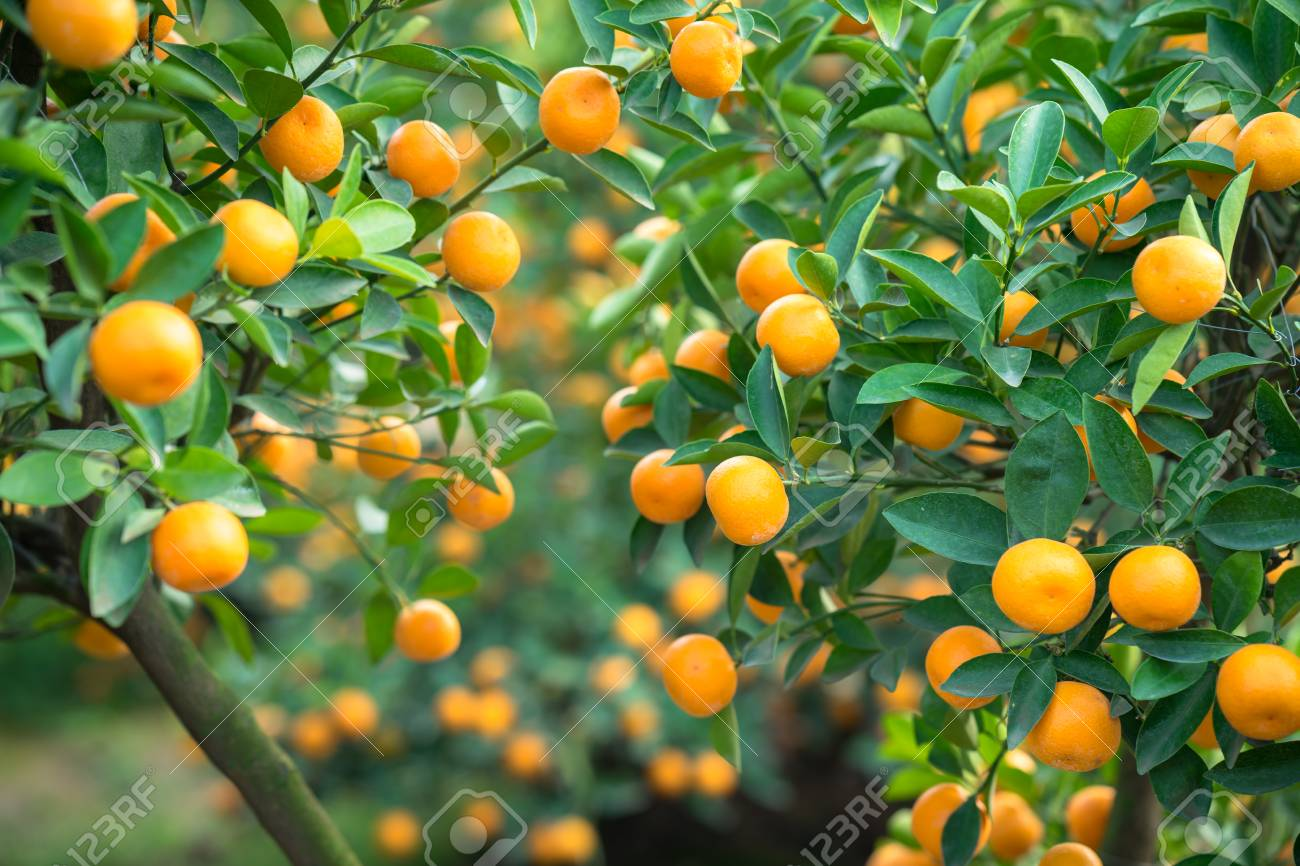 Kumquat In Pictures