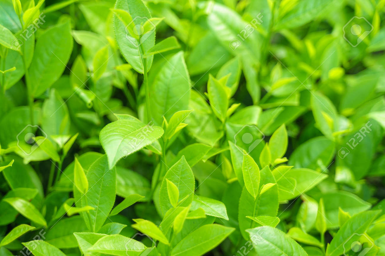 Fresh Green Tea Leaves And Buds In A Tea Plantation In Morning Stock Photo Picture And Royalty Free Image Image 122827510
