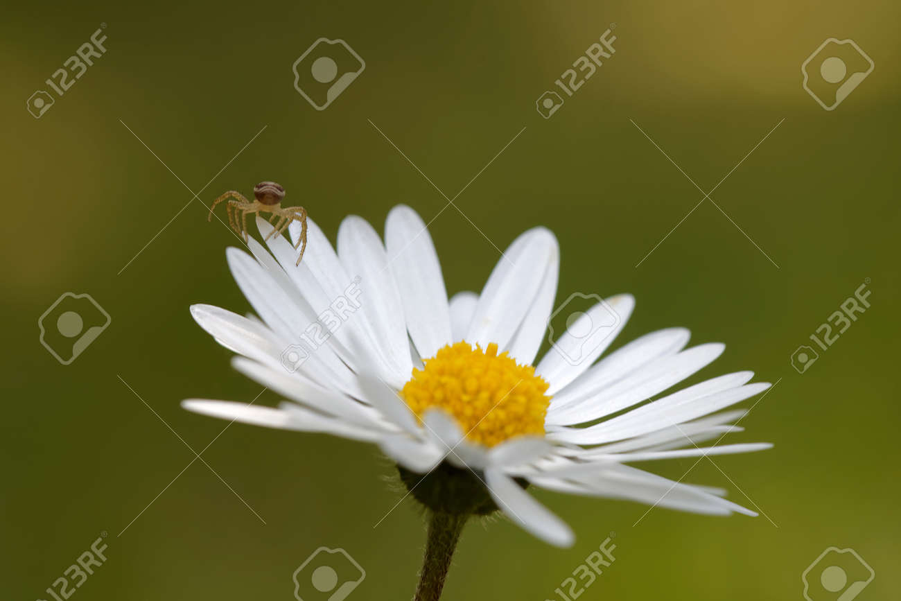 Small Spider Climbing On A Daisy Flower Green Background Short