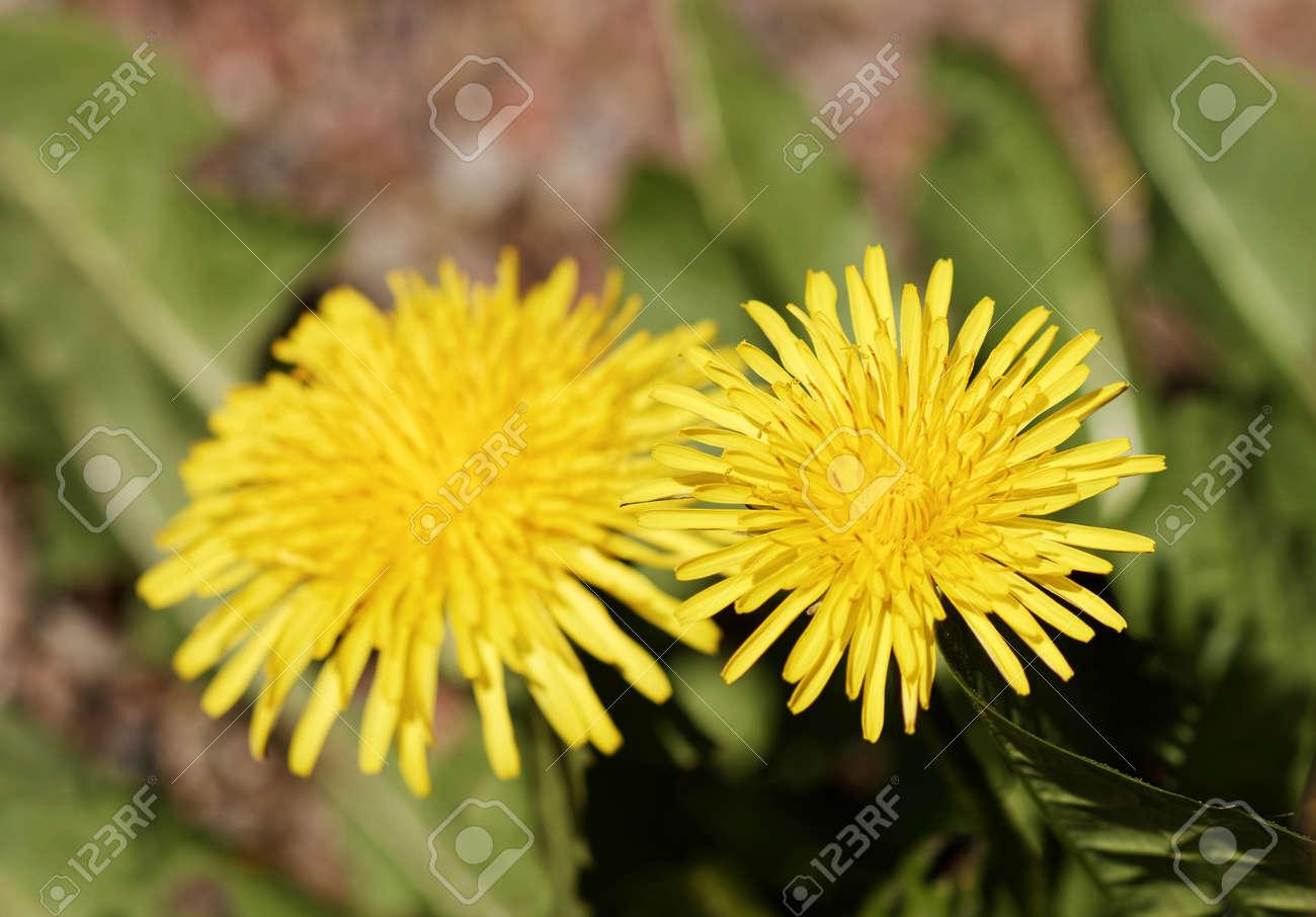 Primer De Las Flores Amarillas Del Diente De Leon Nombre Latino