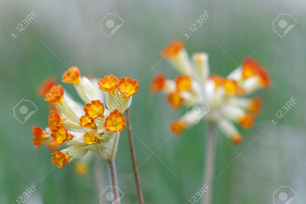 Closeup Of Yellow And Orange Cowslip Flower Latin Name Primula