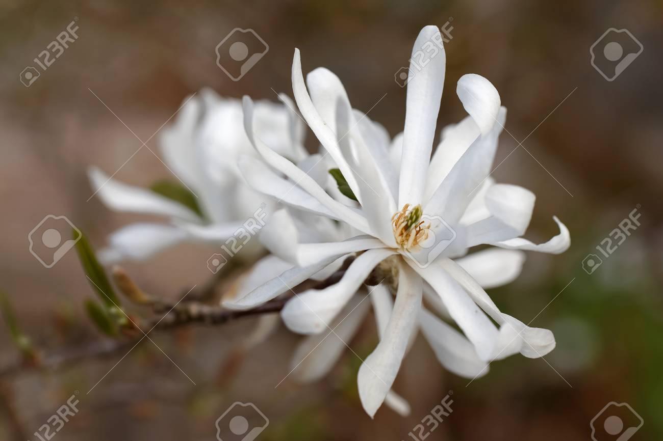 White Star Magnolia Flowers Closeup, Latin Name Magnolia Stellata ...