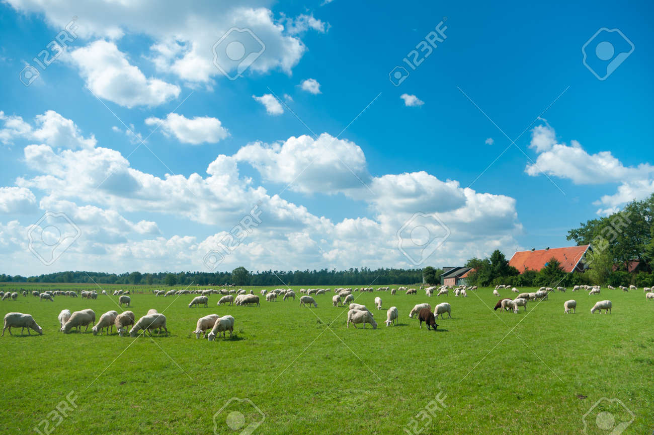 flock of sheep grazing in a meadow somewhere in the netherlands - 7622508