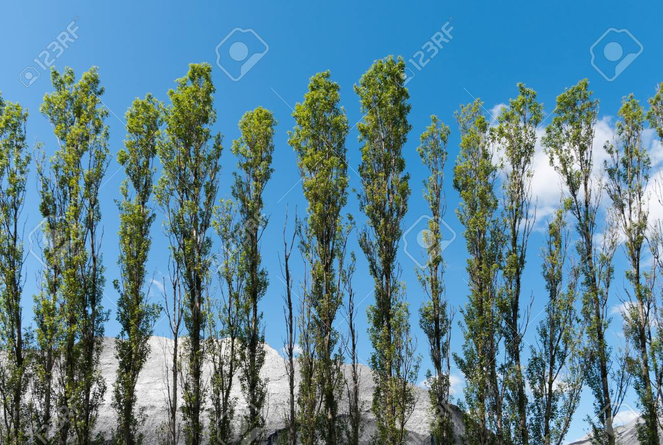 row of poplar trees in front of hills of gravel in the Amsterdam harbor Stock Photo - 14631272