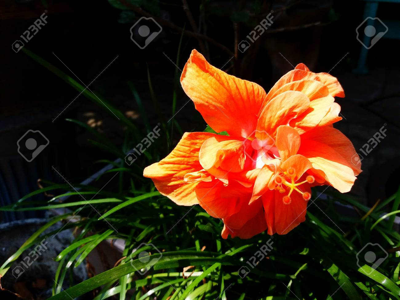 Close up beautiful orange shoe flower hibiscus or chinese rose close up beautiful orange shoe flower hibiscus or chinese rose blooming with green leaves izmirmasajfo Image collections