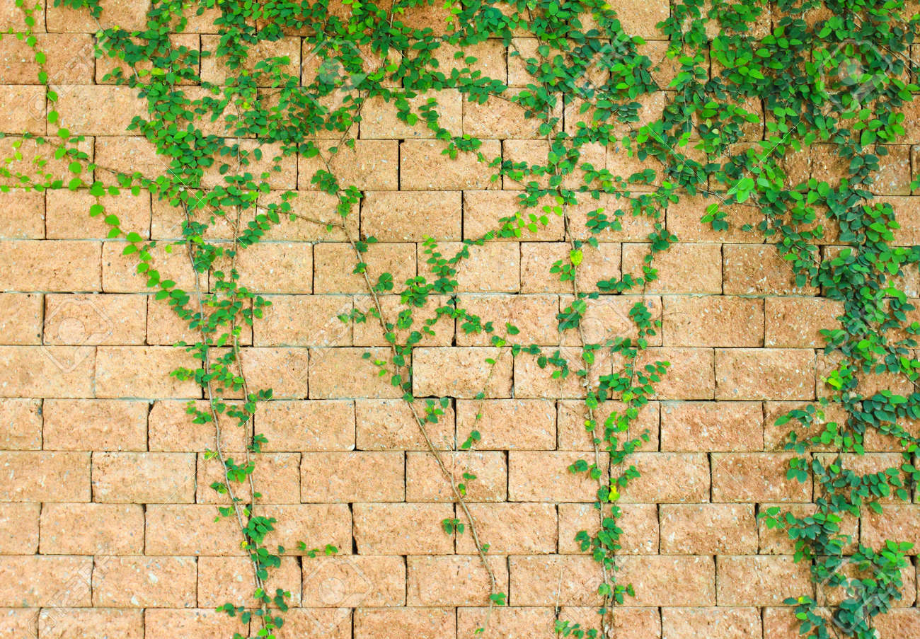 Green Ivy On The Brick Wall Stock Photo, Picture And Royalty Free ...