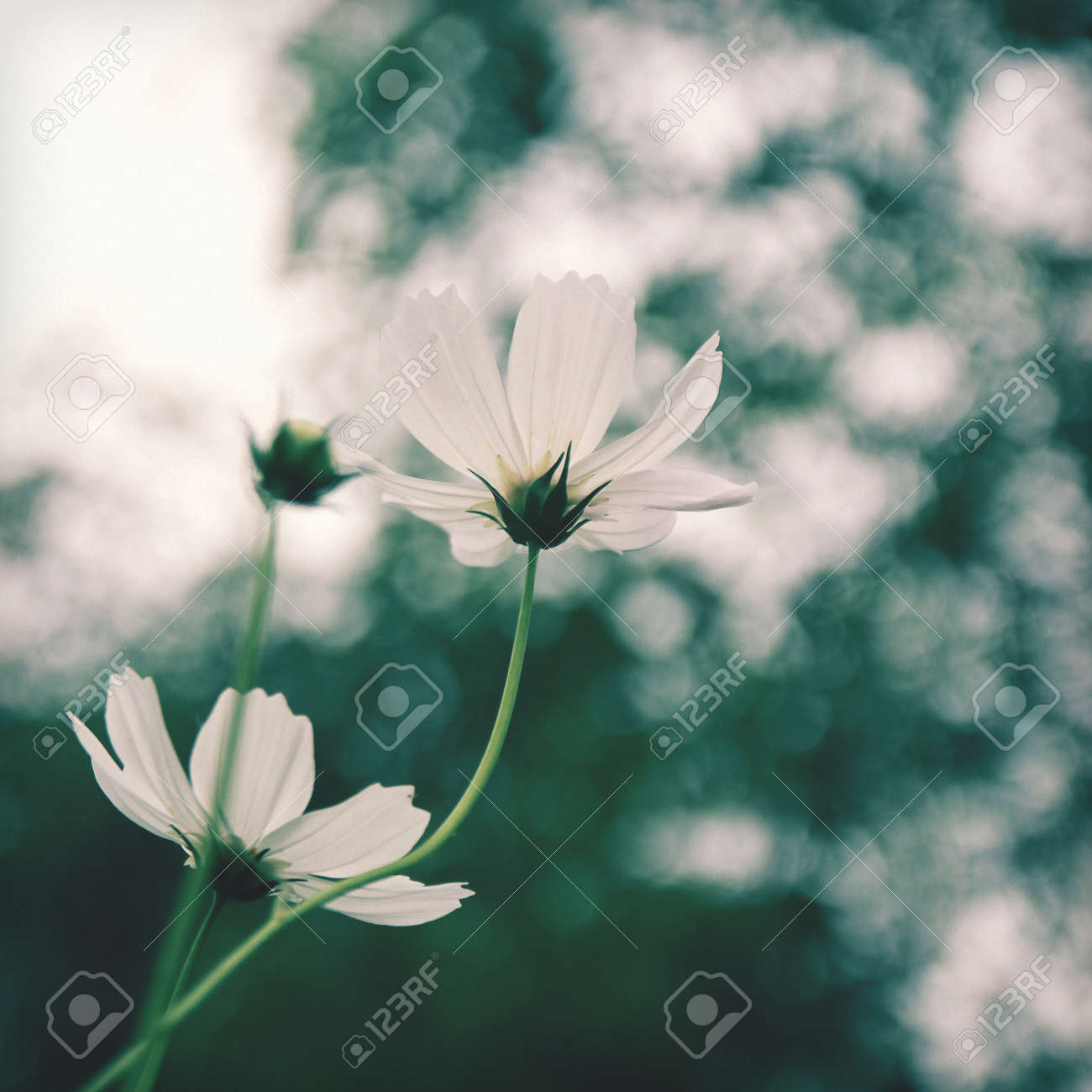 White Cosmos Flowers In Vintage Retro Tone Stock Photo Picture And