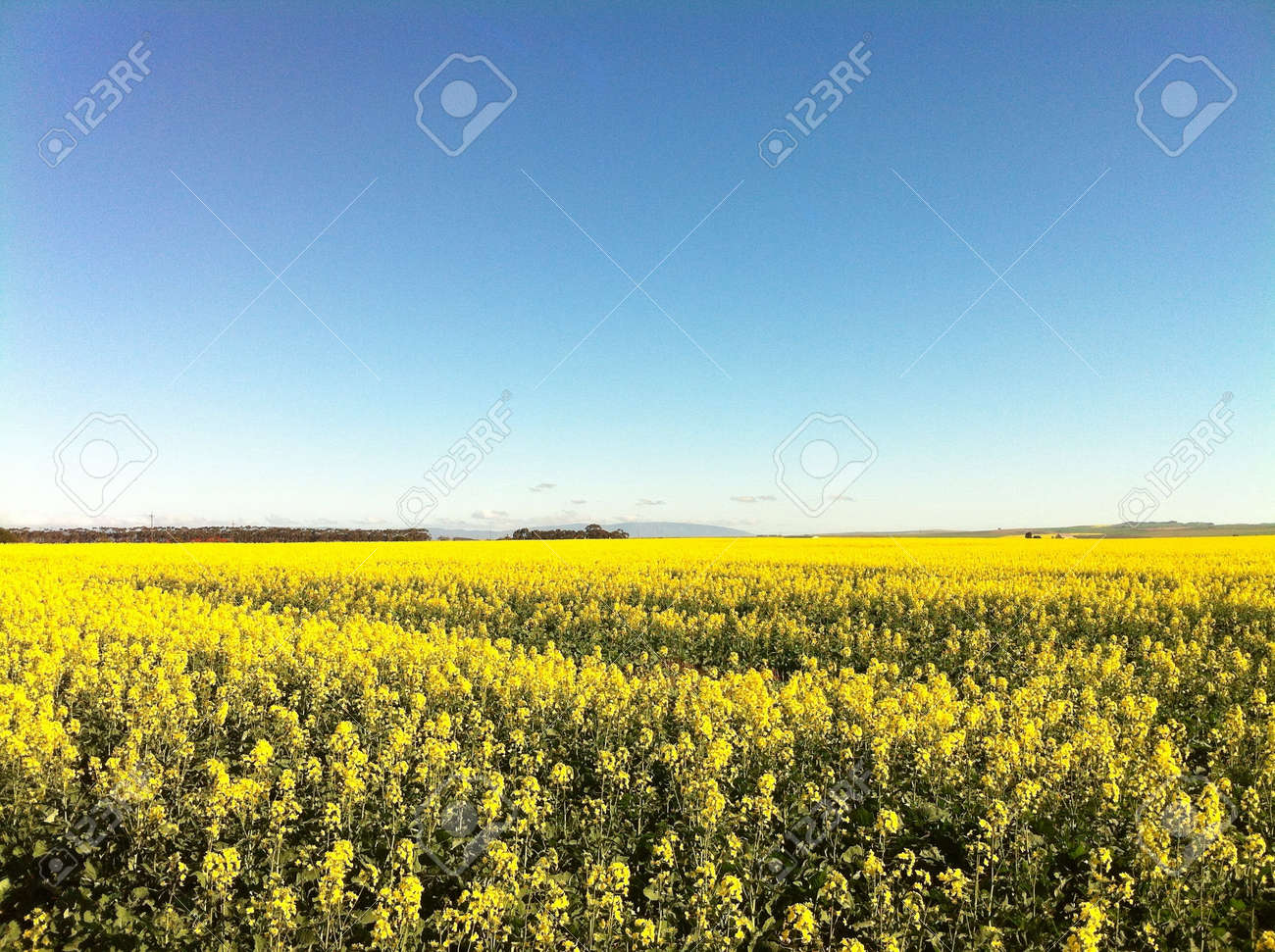 Farmlands Covered In Stunning Yellow Canola Flowers With A Blue