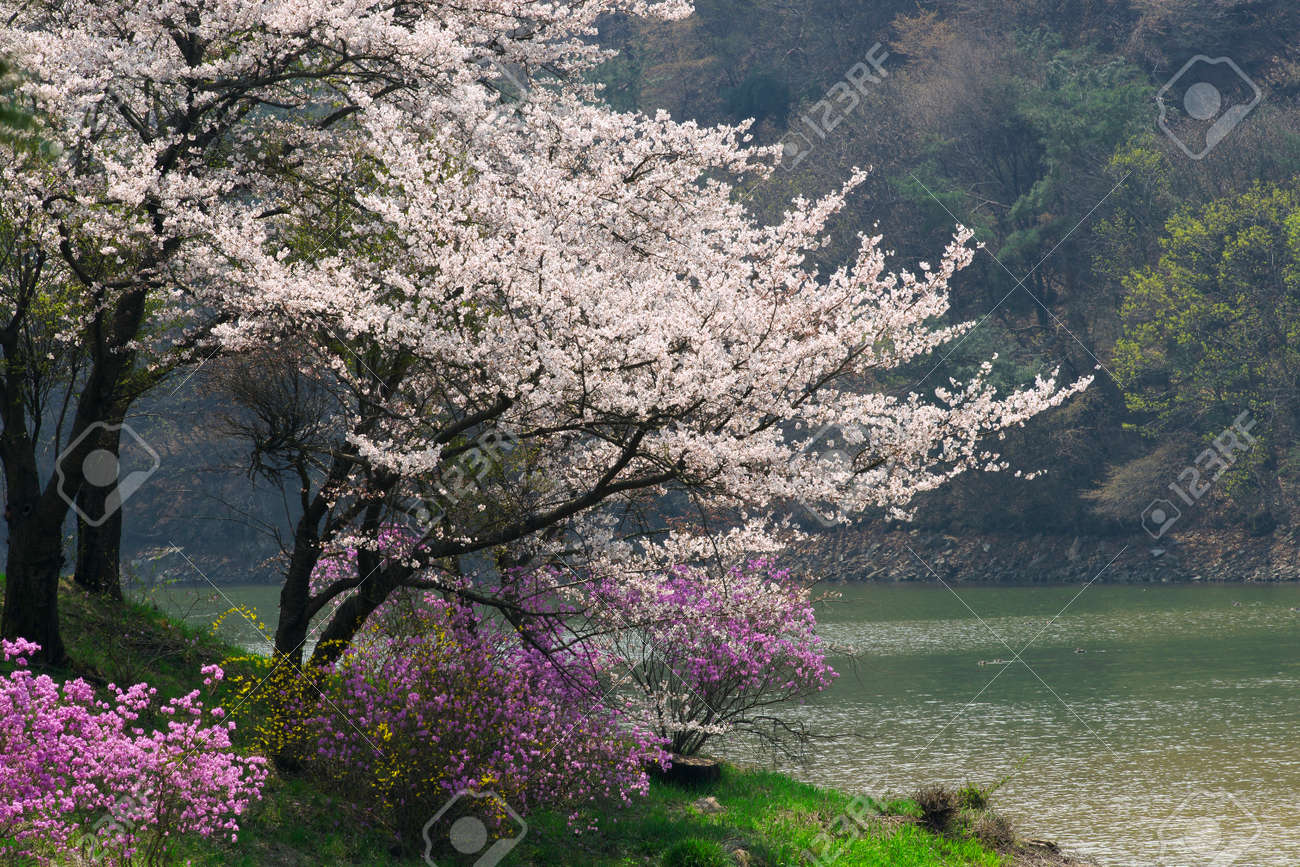 Spring Cherry Blossoms Rhododendron Forsythia Pine Lake