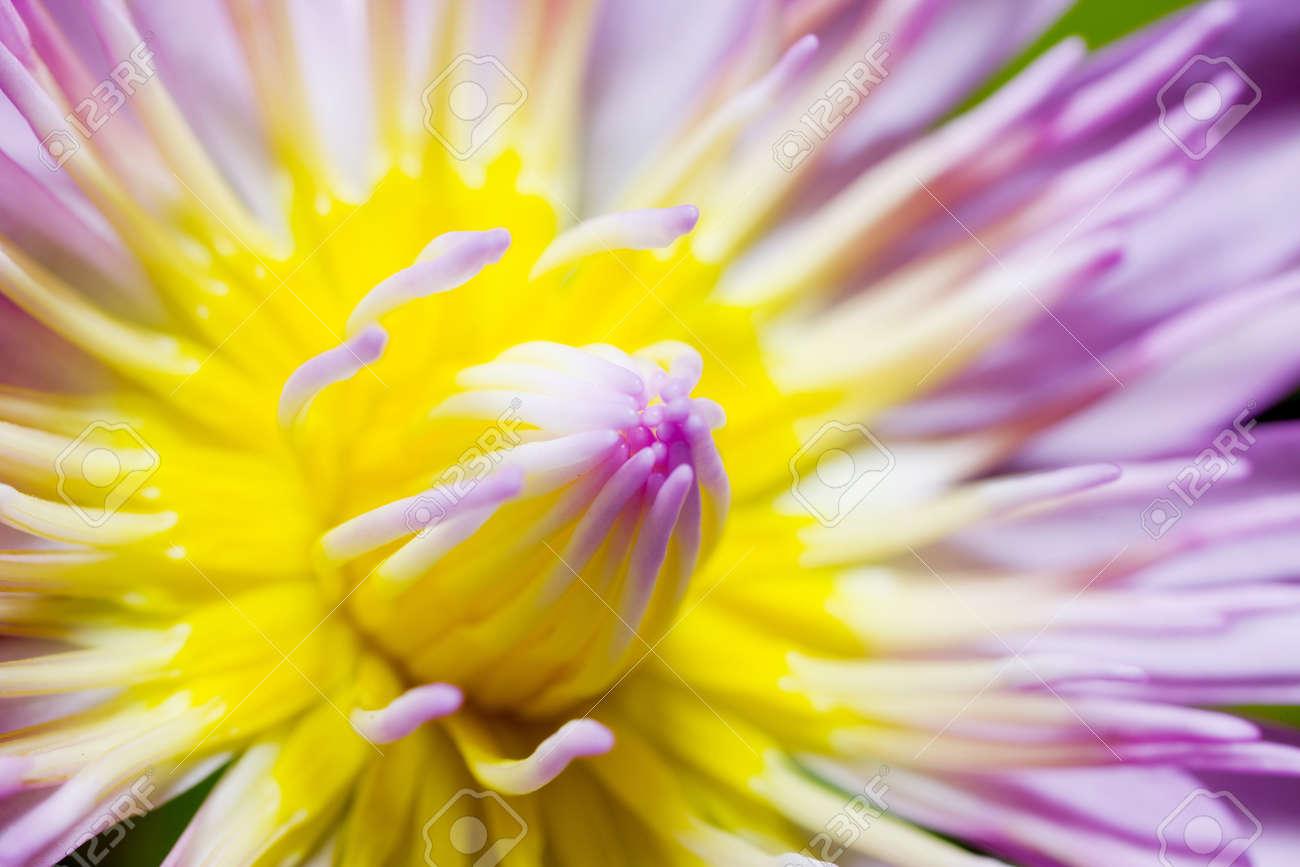 Pink Lotus Close Up Stock Photo - 10311241