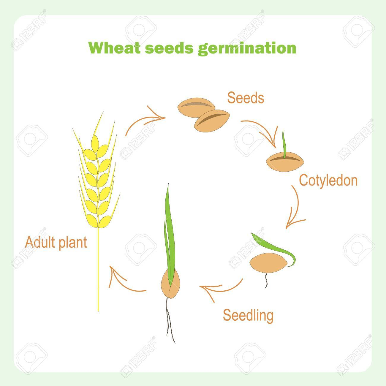 Scheme Of Wheat Seed Germination. Learning Biology Stock Vector ...