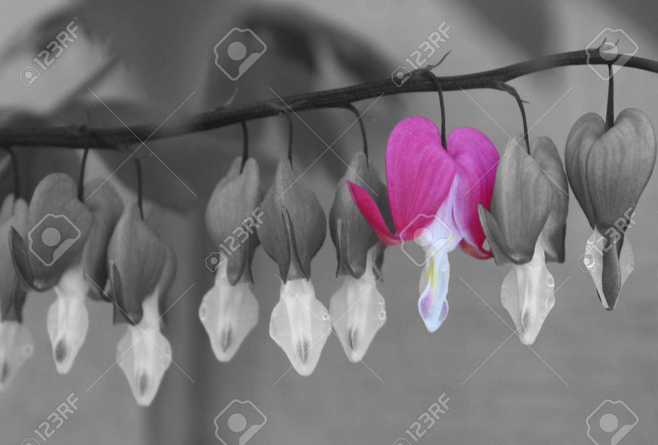 Fotografía En Blanco Y Negro De Corazones Llorando Con Una Flor Rosa
