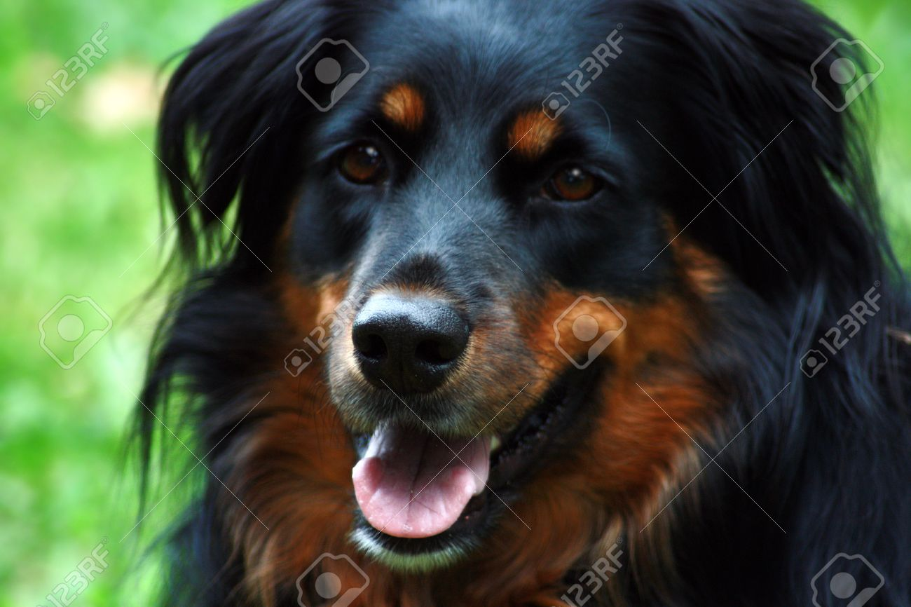 friendly black and brown border collie stock photo picture and